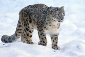 Everything About Snow Leopard In Hindi | गिरि राजा हिम तेंदुआ के बारे में हिंदी में