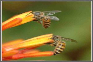 मधुमक्खियों की भाषा